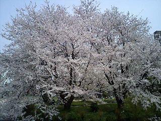 青空のしたの満開の桜
